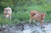 """Con """"el buey de la barranca"""", viven productores de carne y leche"""