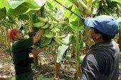 Producción de plátano, una alternativa para los hombres del campo